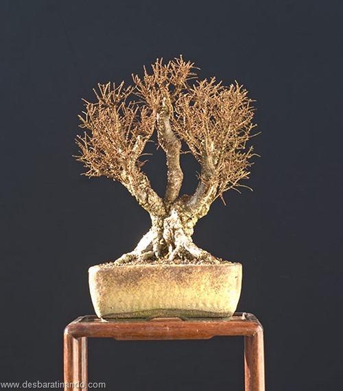 bonsais arvores em miniatura desbaratinando (75)