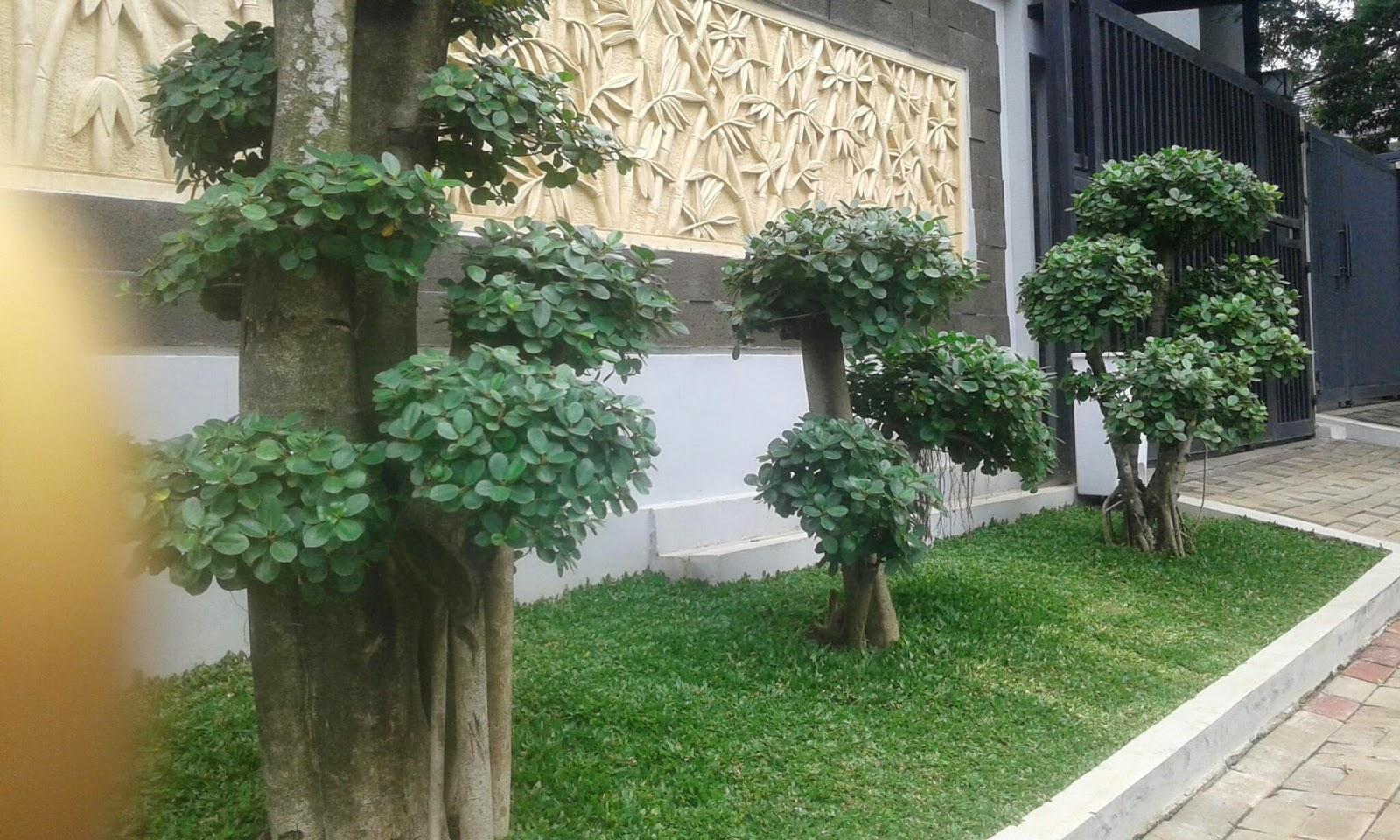 Jual bonsai beringin korea