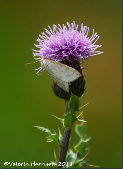 3 udea-lutealis-on-thistle