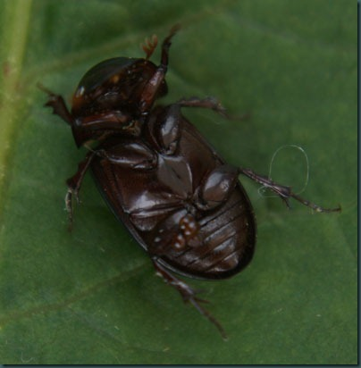 Beetle aphodius rufipes (2)