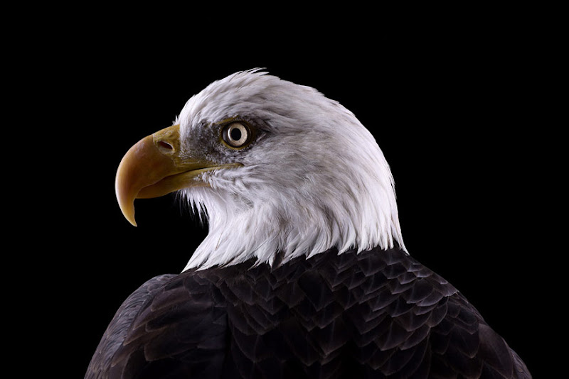 animal-photography-affinity-Brad-Wilson-bald-eagle.jpeg
