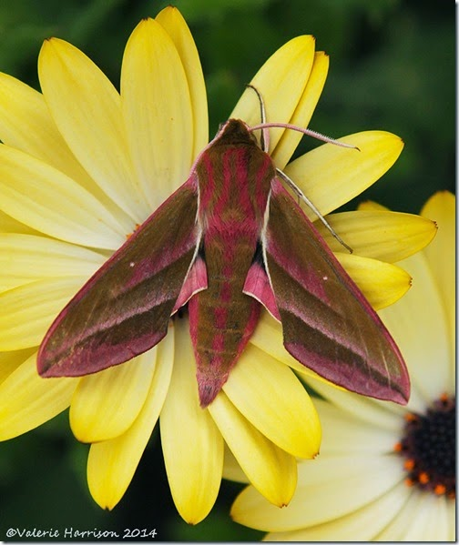 Elephant-Hawk-moth