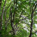 RuegenTrees.jpg