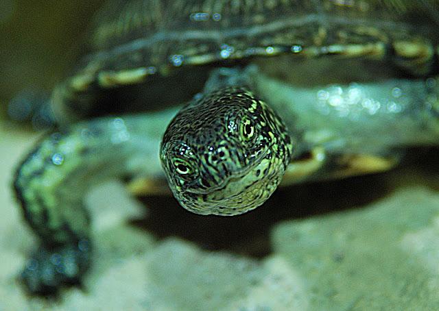 sköldpadda närbild