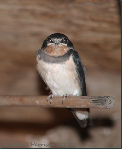 juv-swallow