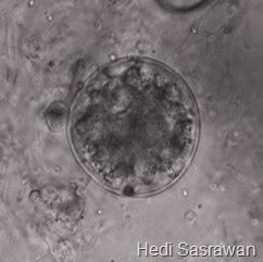 ciri-ciri Chytridiomycota 2