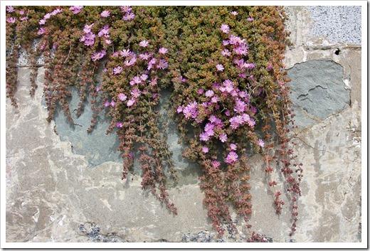 120408_Alcatraz_Drosanthemum-floribundum_05