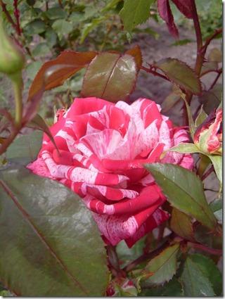 2011_07 Blumen im Garten (3) (600x800)