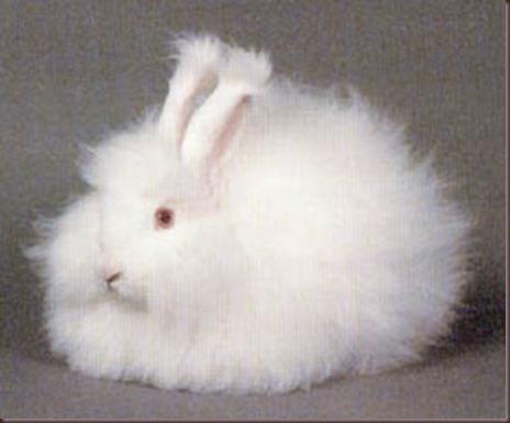 Amazing Animal Pictures Angora Rabbit (9)