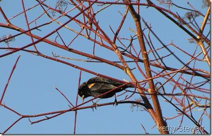 Red-wing Blackbird