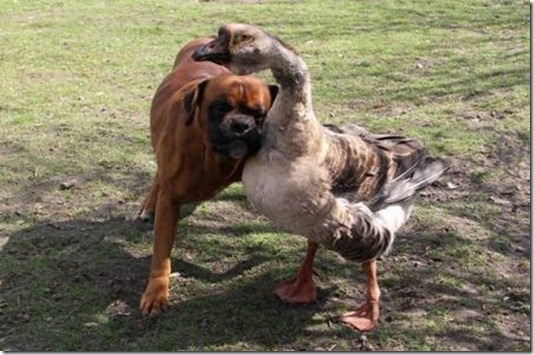 I Lean Seeing-Eye Goose Befriends Blind Dog