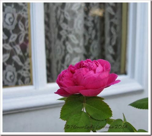 02-12-rose-de-rescht4