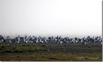 masses of gulls