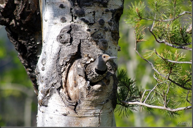 Female Northern Flicker at nest
