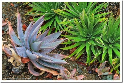 140208_RBG_Aloe-striata-x-maculata_005