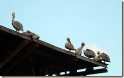 Pelicans roosting at a marina on Crystal River