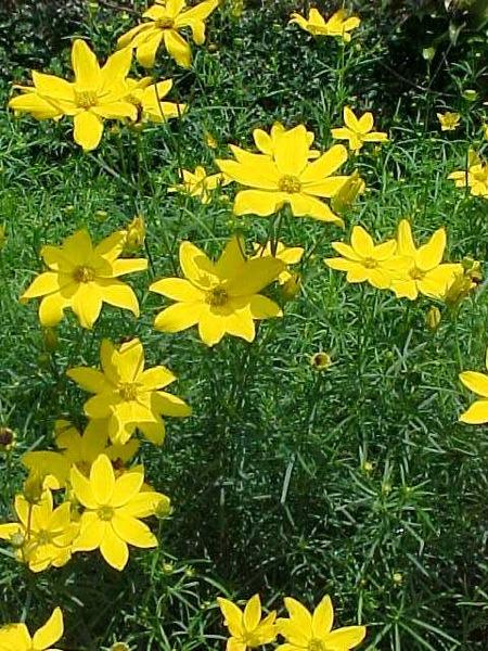 Coreopsis zagreb
