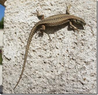 Malleyrand June 2011 (85) Lizard