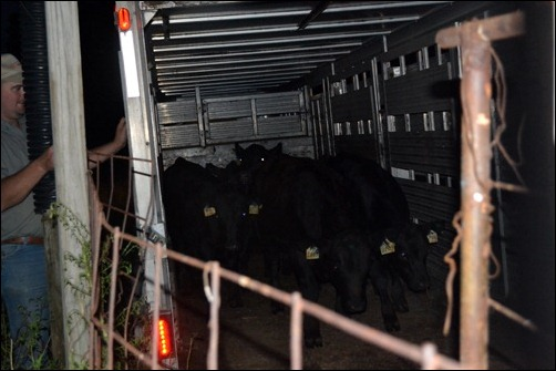 unload calves at new home