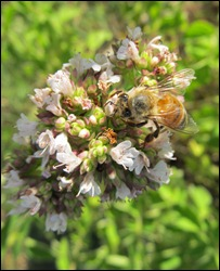 honeybee on oregano0603 (12)