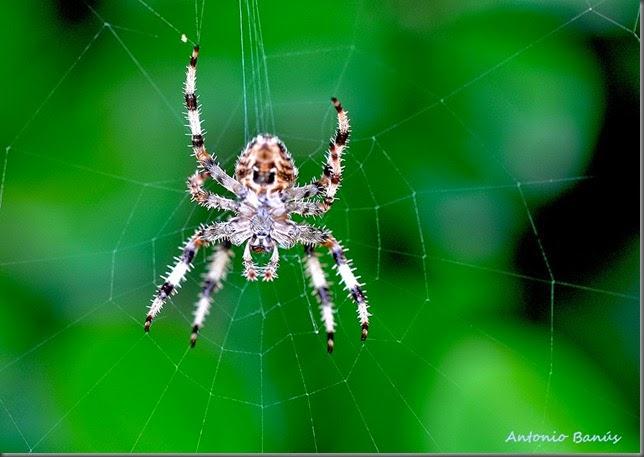 C07 araña DSC_0631R