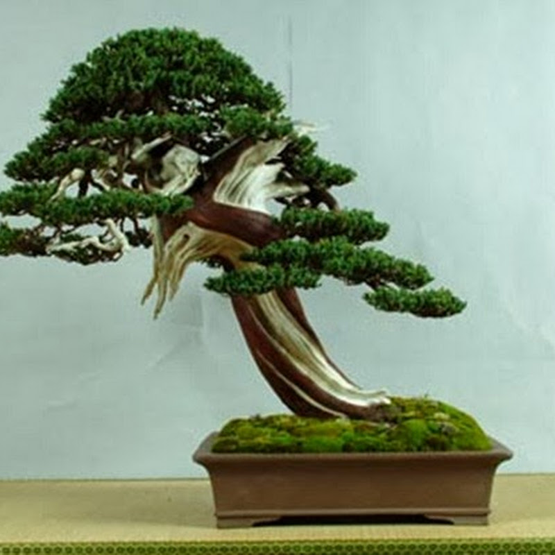The Ancient Art of Bonsai: Gallery Junipers (Part 3).