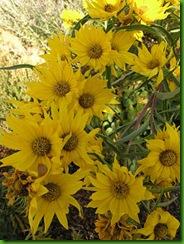 Maximillian-Sunflower