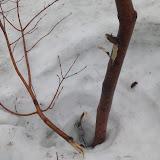 ツリバナの枝が折れた