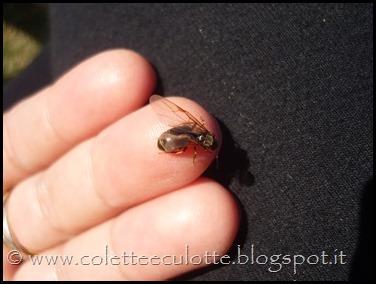 Femmina di formica fecondata
