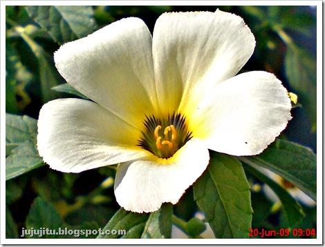 white alder Turnera subulata bunga pukul delapan  07