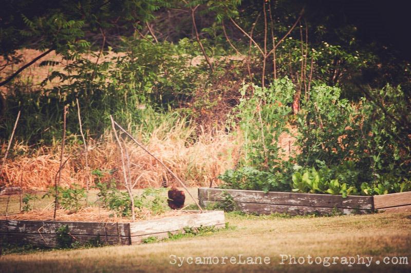 SycamoreLane Photography--garden (1)