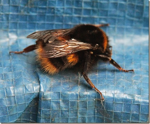 3-buff tailed bumblebee