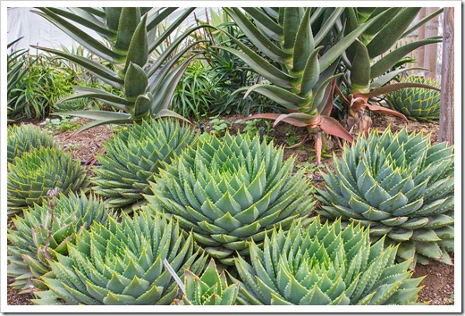 120929_SucculentGardens_Aloe-polyphylla_10