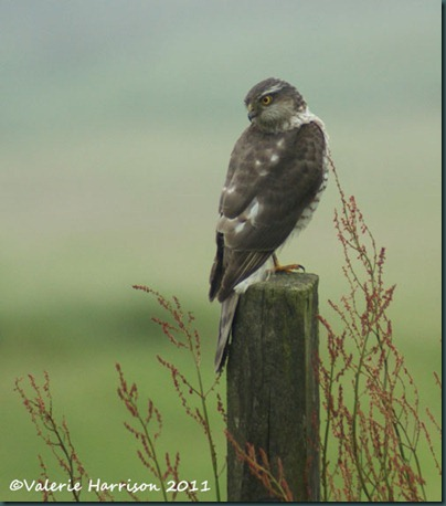 5 sparrowhawk-3
