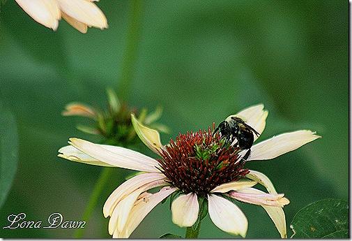 Coneflower_Bumblebee
