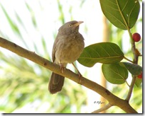 052 Jungle Babbler (Jungli Leloo-Charkhee)