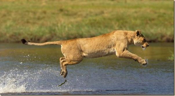 Le courage exeptionnel d'une lionne (3)