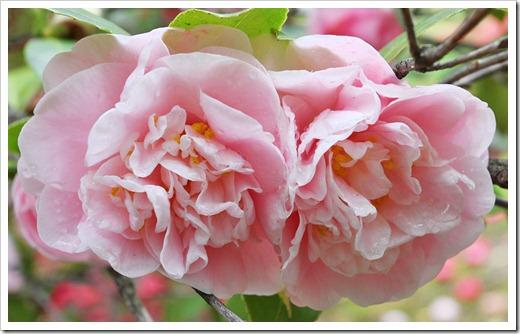 120317_Capitol_Park_Camellia-japonica_46