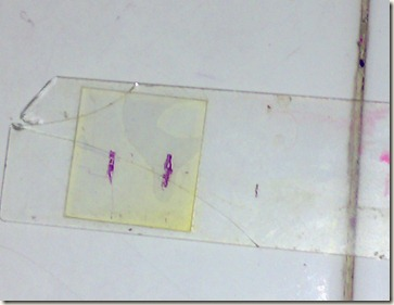 compact bone section on glass slide- stained
