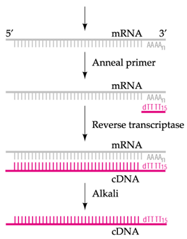 labelled cDNA