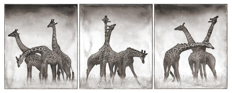 30 Giraffe Triptych