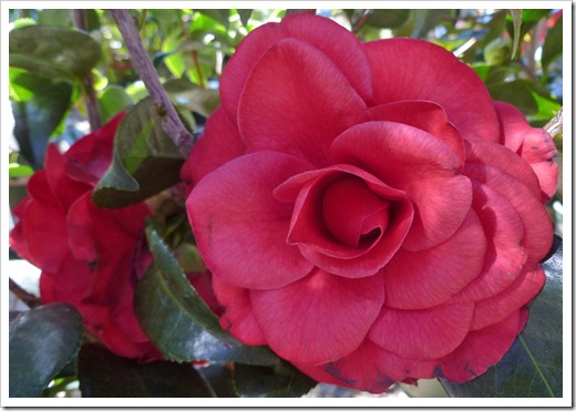 120303_GreenAcresFolsom_Camellia-japonica-Tom-Knudsen_04