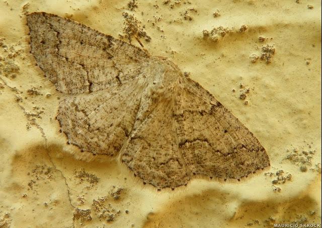 Geometridae : Ennominae : Thyrinteina sp. Environs de Curitiba, Paraná. 31 août 2010. Photo : Mauricio Skrock