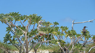 Red-footed Booby.