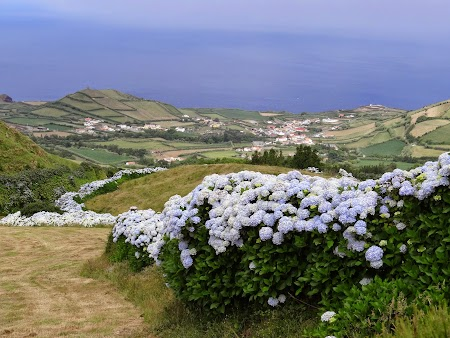 10. Hortensii in Azore.JPG