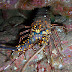 Pronghorn spiny lobster - Photo (c) DavidR.808, some rights reserved (CC BY-NC-SA)