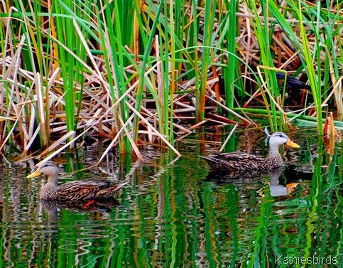 9. mottled ducks-kab