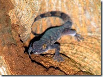 lizards gecko