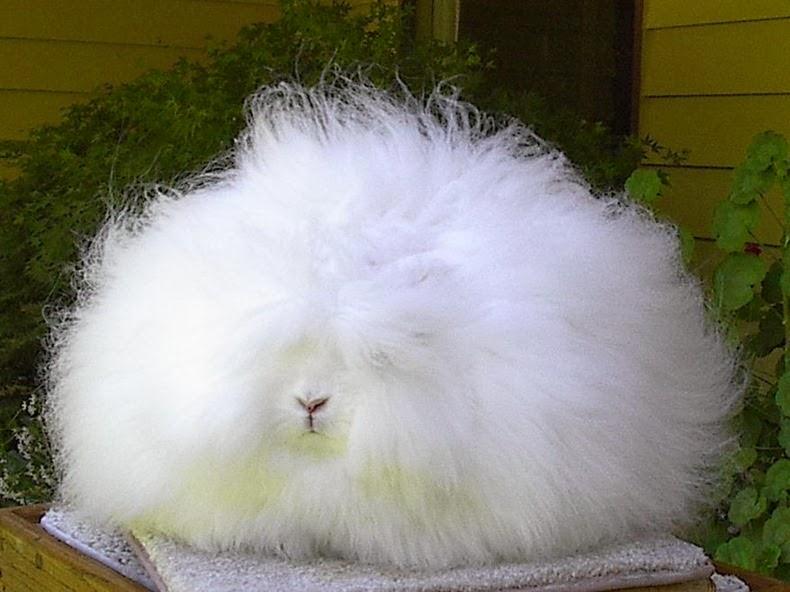 angora-rabbit-4