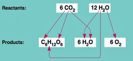 Photosynthesis reactants and products